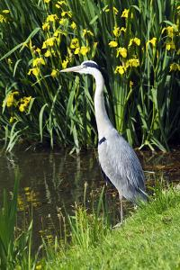Grey Heron by Georgette Douwma