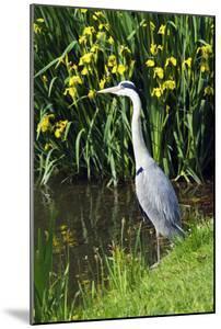 Grey Heron by Georgette Douwma