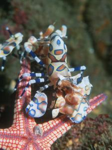 Harlequin Shrimp, Starfish Prey, Upside Down to Prevent It from Escaping, Andaman Sea, Thailand by Georgette Douwma