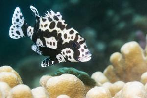 Harlequin Sweetlips by Georgette Douwma