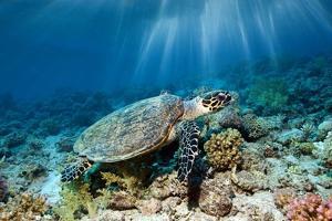Hawksbill Turtle by Georgette Douwma