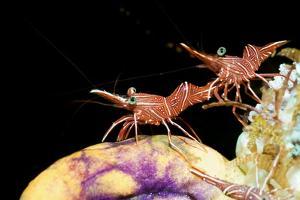 Hingebeak Shrimp on a Seasquirt by Georgette Douwma