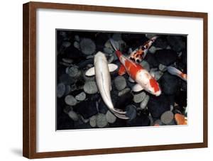 Koi Carp In a Pond by Georgette Douwma