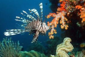 Lionfish by Georgette Douwma