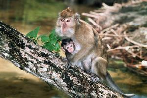 Long-tailed Macaque Mother And Baby by Georgette Douwma