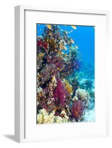 Lyretail Anthias And Soft Corals by Georgette Douwma