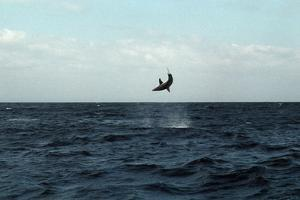 Mako Shark on a Fishing Line by Georgette Douwma