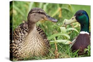 Mallard Ducks, Composite Image by Georgette Douwma