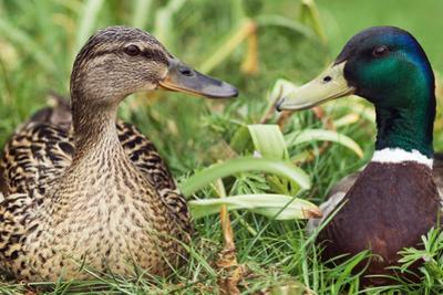 Mallard Ducks, Composite Image by Georgette Douwma