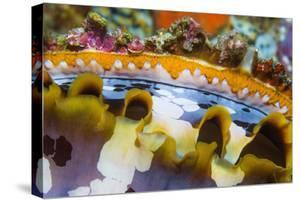 Mantel of Spiny oyster, Indonesia, Indo-West Pacific by Georgette Douwma