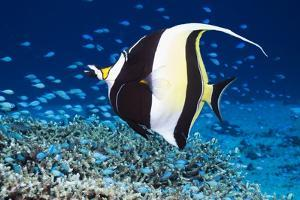 Moorish Idol by Georgette Douwma