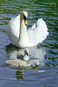 Mute Swan And Cygnets by Georgette Douwma