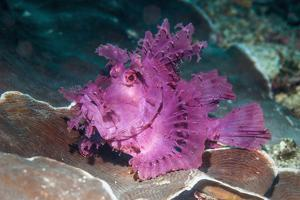 Paddle-flap scorpionfish (Rhinopias eschmeyeri) Puerto Galera, Philippines by Georgette Douwma