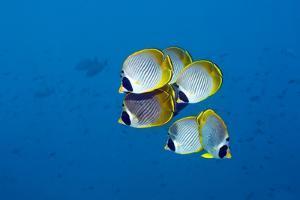 Panda Butterflyfish by Georgette Douwma