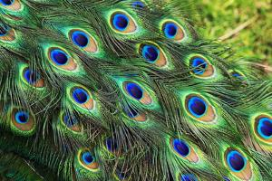 Peacock Feathers by Georgette Douwma