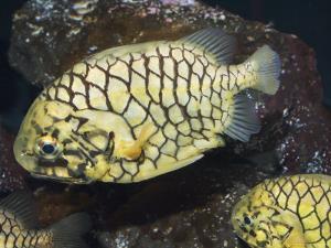 Pineconefish, Seattle Aquarium, USA by Georgette Douwma