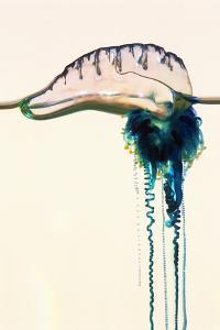 Portuguese Man-of-war by Georgette Douwma