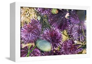 Purple Sea Urchins by Georgette Douwma
