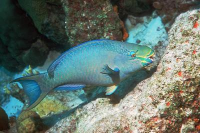 Queen Parrotfish by Georgette Douwma