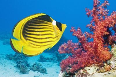 Red Sea Racoon Butterflyfish by Georgette Douwma
