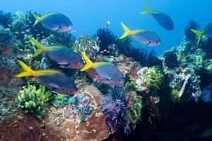 Redbelly Yellowtail Fusiliers by Georgette Douwma