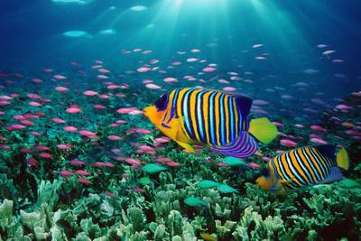 Regal Angelfish and Purple Anthias in Coral Reef (Digital Composite)