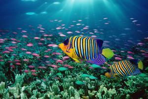 Regal Angelfish and Purple Anthias in Coral Reef (Digital Composite) by Georgette Douwma