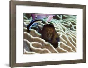 Reticulated Dascyllus Fish by Georgette Douwma