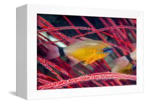 Ring-tailed Cardinalfish (Apogon aureus) West Papua, Indonesia by Georgette Douwma