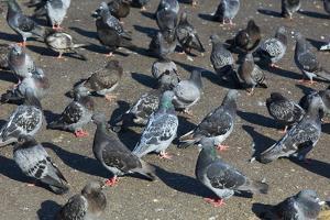 Rock Pigeons by Georgette Douwma