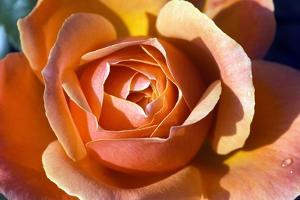 Rose (Rosa 'Fellowship') by Georgette Douwma