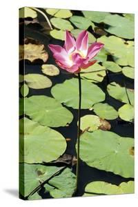 Sacred Lotus (Nelumbo Nucifera) by Georgette Douwma