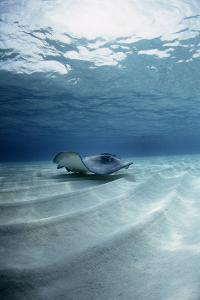 Southern Stingray by Georgette Douwma