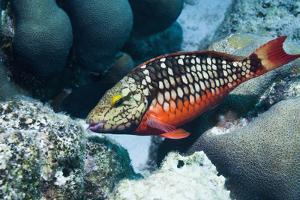 Stoplight Parrotfish (Sparisoma Viride) Initial Phase. Bonaire, Netherlands Antilles, Caribbean by Georgette Douwma