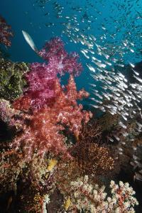Sweeper Fish And Soft Corals by Georgette Douwma