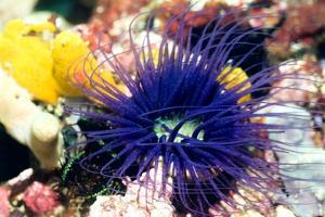 Tube Anemone by Georgette Douwma