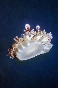 Upside Down Jellyfish (Cassiopeia Andromeda) Lembeh, Sulawesi, Indonesia by Georgette Douwma