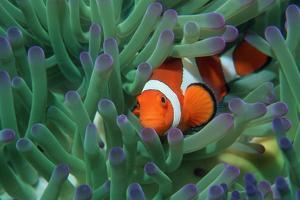 Western Clown Anemonefish by Georgette Douwma