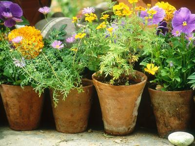 Annuals in Pots, Brachycome Multifida, Viola & Tagetes Pebble Chelsea Flower Show 1997