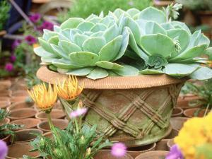 Echeveria in Pot Chelsea Flower Show 1997 by Georgia Glynn-smith