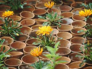 Gazania in Pots with Empty Pot Design, Whichford Pottery Chelsea Flower Show 1997 by Georgia Glynn-smith