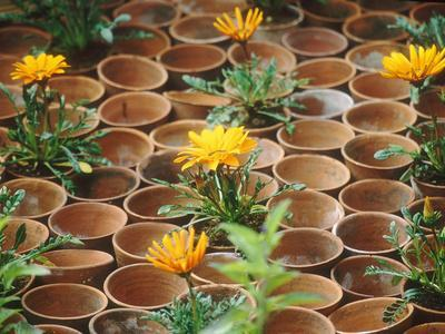 Gazania in Pots with Empty Pot Design, Whichford Pottery Chelsea Flower Show 1997