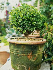 Small Buxus (Box) Topiary in Moss Covered Pot by Georgia Glynn-smith
