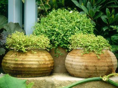 Solerolia Solerolli (Mind Your Own Business) in Squat Terracotta Pots Chelsea Flower Show 1997