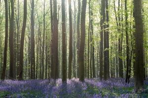 Bluebell Wood in Hallerbos, Belgium in Spring by Georgianna Lane