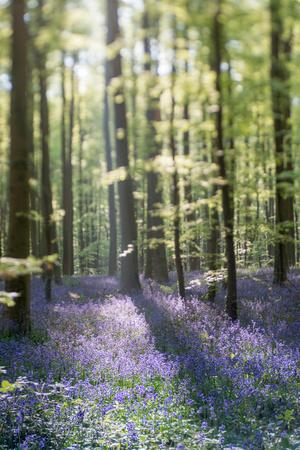 Bluebell Wood in Hallerbos, Belgium in Spring