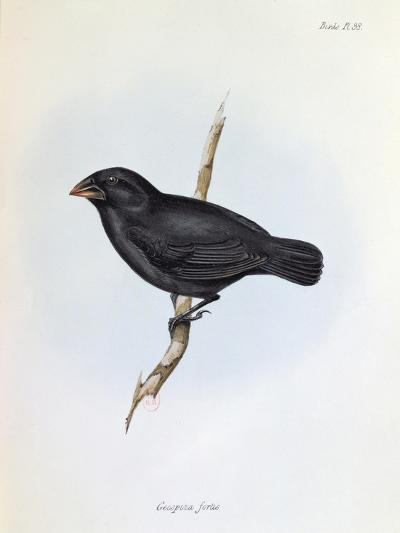 Geospiza Fortis, Illustration from 'The Zoology of the Voyage of H.M.S. Beagle, 1832-36-Charles Darwin-Giclee Print