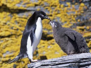 Adelie Penguin Adult with its Chick, Pygoscelis Adeliae, South Orkney Islands by Gerald & Buff Corsi