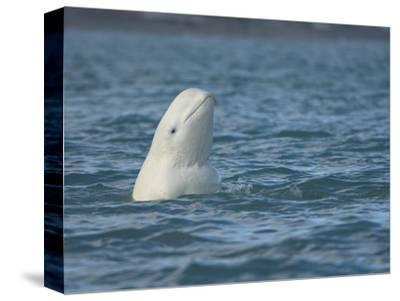 Beluga Whale or White Whale Spyhopping, Delphinapterus Leucas, Somerset Island, Nunavut, Canada