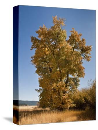 Black Cottonwood or Balsam Poplar in Autumn Color (Populus Balsamifera Trichocarpa), Chester